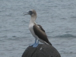 A Blue-footed booby in North Seymour Island. Photo courtesy of Tonya Huff and Virginia White